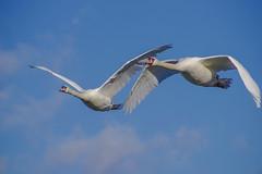 flying with friends (Paul Wrights Reserved) Tags: bird birding birds birdphotography birdwatching birdinflight beautiful swan swans inflight flying flight fly