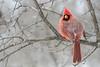 Northern Cardinal / Cardinal rouge (www.andrebherer.com) Tags: bird birds oiseau nature faune cardinal northerncardinal cardinalrouge ottawa ontario camada andrebherer