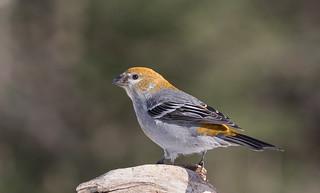 Durbec des sapins (femelle) - Pine Grosbeak