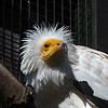 Egyptian Vulture 01a (john atte kiln) Tags: wrinkles egyptianvulture vulture whiteyellow yellowwhite edinburgh edinburghzoo lothian scotland britain uk unitedkingdom carnivore beak feet claws birdhead feathers whitefeathers closeup whitescavengervulture pharaohschicken oldworldvulture neophron mandible nostrils hackle captive featherplume mane ivad
