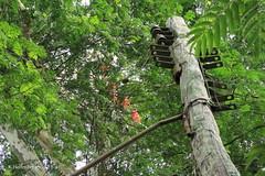Bomelias on tree (klarikris) Tags: bromelia ontree bilbergia zebrina