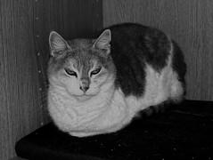 Mia - my cat (Carandoom) Tags: mia chat cat black white noir et blanc 2018 france