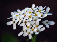 Sweet Alyssum (BlueRidgeKitties) Tags: canonpowershotsx40hs flower sweetalyssum alyssummaritimum lobulariamaritima brassicaceae