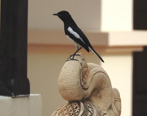 Oriental Magpie Robin In Hua Hin - Thailand