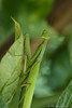 Mantis religiosa (christian.grelard) Tags: vert mantisreligiosa mantereligieuse animal insect macro 105mm sigma105mm arthropode