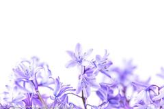 A haze of bluebells (Zoë Power) Tags: spring macro natureindoors purple simplicity closeup whitebackground flowers bluebells mygarden