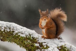 Red Squirrel - Unfazed