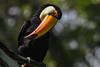 s 20170612_Toucan_DSC_0042 (Andrew JK Tan) Tags: toucan nikond850 nikond850prophotographers fragileforest
