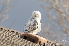 Snowy Owl catches a quick nap