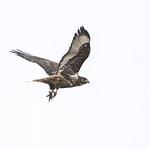 Harlan's Hawk - Santa Cruz Flats thumbnail