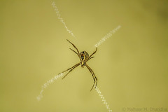 St. Andrews Cross Spider (mihir_dhandha) Tags: spider web standrewsspider canon canonindia canonasia canon1000d canoneos canonkitlens canon55250 dof depthoffield khijadiya insects indianspider arachnids wildlife
