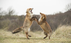 Fighting Foxes (Alastair Marsh Photography) Tags: redfox fox foxes foxvixen redfoxvixen vixen mammal mammals mammalsociety animal animals animalsintheirlandscape wildlife holland dutch netherlands dunes amsterdam fur fighting fight winter