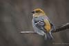 Pine Grosbeak (Turk Images) Tags: aspenparkland pinegrosbeak pinicolaenucleator alberta birds fringillidae pigr thorhild winter