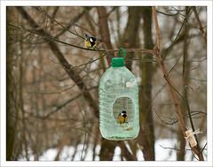 Winter. January'18. # 1. (GlebLv) Tags: winter snow birds feeding titmouse sony a6000 revue13535