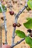 2011-07-22 TEC-3752 Chamguava gentlei - EP Mallory (B Mlry) Tags: tec belize belizedistrict chamguavagentlei flora idd lowlandsavanna myrtaceae pineridgespice tropicaleducationcenter crosssection fruit pinedominatedsavanna redfruit stem syneugeniagentlei tallos wingedstem woody