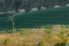 _Y2U0883.0118.Nậm Tôm.Tân Lập.Mộc Châu.Sơn La (hoanglongphoto) Tags: asia asian vietnam northvietnam northwestvietnam landscape scenery vietnamlandscape vietnamscenery vietnamscene hillside teatree teahill afternoon sunlight sunny sunnyafternoon trees mocchaulandscape hdr canon canoneos1dx canonef70200mmf28lisiiusm tâybắc sơnla mộcchâu nậmtôm phongcảnh phongcảnhmộcchâu đồichè đồichèmộcchâu sườnđồi buổichiều nắng nắngchiều