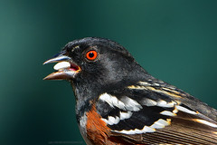 """Spotted-Towhee_01 (DonBantumPhotography.com) Tags: wildlife nature animals birds spottedtowhee earlyspring """"donbantumphotographycom"""" """"donbantumcom"""" """"nikon d7200"""" """"afs nikkor 200500mm f56e ed vr"""""""