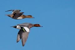 Wigeon (redmanian) Tags: wigeon duck bird ianredman rspb standing