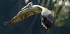 IMG_4071 (RRJOIS) Tags: pelican birdfeeding birdphotogrpahy rangantittu ranganthittubirdsanctuary birdflight canonphotography indianphotographers