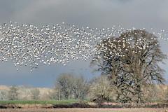Snowy Flock (Gary Grossman) Tags: geese flock landscape winter oak tree birds savannahnature oregon clouds wild wildlife garygrossmanphotography graygrossman birdsinflight oaksavannah sauvieisland pacificnorthwest westernoregon