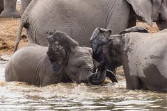 Water fun (zimpetra) Tags: namibia etosha np elephants water playing