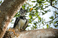Harpy Eagle (www.NeotropicPhotoTours.com) Tags: rainforestcostaricajuan neotropicalphotography photoworkshop photographytour phototour photoexpedition rainforest juan carlos vindas bird photography cloudforest stock nobody one animal wildlife 2017 themes mammal frog outdoors nature neotropical harpyeagle harpiaharpyja neotropicphototours juancarlosvindas