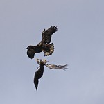 Bald Eagles Immatures - 3rd winter top 1st winter bottom. thumbnail