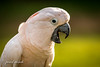 My name is Gizmo (pearl.winch) Tags: cockatoo colchesterzoo gizmo 7831 mynameisgizmo birddisplay 30thjanuary2018