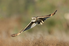 SEO in Flight (just4memike) Tags: bird blurredbackground eared eye feather flight flying nature owl raptor short soaring talon wildlife wing
