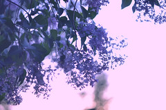 In the mood for Spring (elenakulakova) Tags: spring lilacs flowers violet purple fragrance abstract may