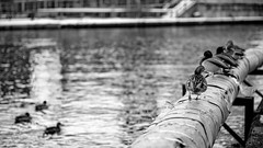 (Mr. Tailwagger) Tags: leica m10 summilux 75mm tailwagger ducks bird canal conduit bokeh monochrome lowell ma