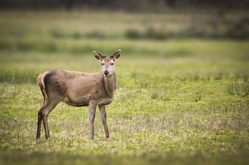 Red Deer (Cervus Elaphus) - Hind (Female)