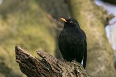 Blackbird-8239 (WendyCoops224) Tags: 100400mml 80d oliveswood canon eos localbirdswildlife ©wendycooper blackbird