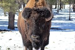 North American Bison (azbirdsandblooms) Tags: