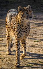 Checking (JKmedia) Tags: big cat bigcat boultonphotography chesterzoo cheshire february 2018 portrait animal cheetah felinae acinonyxjubatus look stare fixated mammal fast alert fit spotty spots