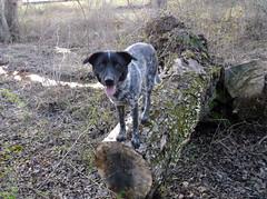 (April Shuyler) Tags: ember australiancattledog cattledog mix mutt blue black white heeler ticking ticked dog canine