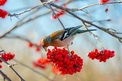 The Winter Feast (paulapics2) Tags: berries feeding chaffinch animal nature garden outdoor fringillacoelebs canoneos5dmarkiii canonef70300mmf456lisusm winter fauna