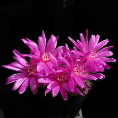 Sulcorebutia albissima HS106 '288' (Pequenos Electrodomésticos) Tags: cactus cacto flower flor sulcorebutia sulcorebutiaalbissima