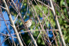 Redwing (Turdus iliacus) (jhureley1977) Tags: redwing turdusiliacus birds birding birdsofbritain britishbirds ashjhureley avibase bbcspringwatch rspbbirders ashutoshjhureley rspb stockerslake rickmansworth