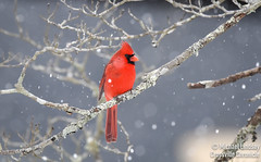 CCS_6821 (LilGoose10) Tags: cardinal nikon d750 full frame winter ice tennessee crossville animal