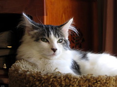 """You call THAT music!"" (Lisa Zins) Tags: noah lisazins tn tennessee cat kitten feline face kittenface petsandanimals pets animals mainecoonmixkitten"