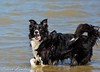 Sterre 12 (lizzaminelli) Tags: bordercollie dog dogs animal pet nikond3200 nikon outdoor beach waves sea water kijkduin