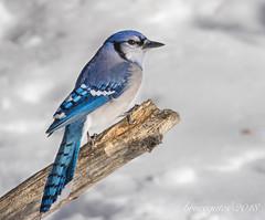 Blue Jay (brucegates) Tags: canon7d sigma150600mm brucegates birds sudbury ontario winter bluejay