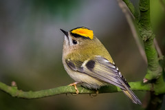 Goldcrest (PINNACLE PHOTO) Tags: regulusregulus goldcrest bird small surrey stripe yellow male red flash feathered sigma 150600c canon martinbillard animal tree foliage leaf