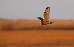 Short-eared Flyby (Cameron Darnell) Tags: owl shorteared bird 2017 december marsh animal nature evening sunset birding cameron canon tamron
