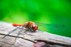 Waiting... (Rico the noob) Tags: dof 300mm nature d500 switzerland outdoor insect animal tc14eiii 2017 macro dragonfly 300mmf4pf published zurich animals eye bokeh schweiz closeup