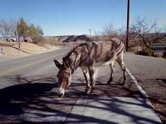 clarkdale burros at train station (EllenJo) Tags: clarkdalearizona clarkdaleburros donkeys burros february february2 2018 ellenjo verdecanyonrailroad traindepot clarkdale pentaxqs1 pentax