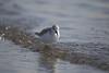 Sanderling / water, warm morning sunlight (yasushiinanaga) Tags: canoneos6d japan bird natuer outside water sigma150600mm