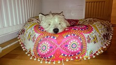 C'est dimanche..... (LILI 296...) Tags: humor humour chien lovemydog dog westies terrrier blanc pouf couffin relax