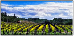 Mustard Rows on Hill (A Work of Mark) Tags: mustard color landscape scenic photoshop topazclarity napacounty yellow